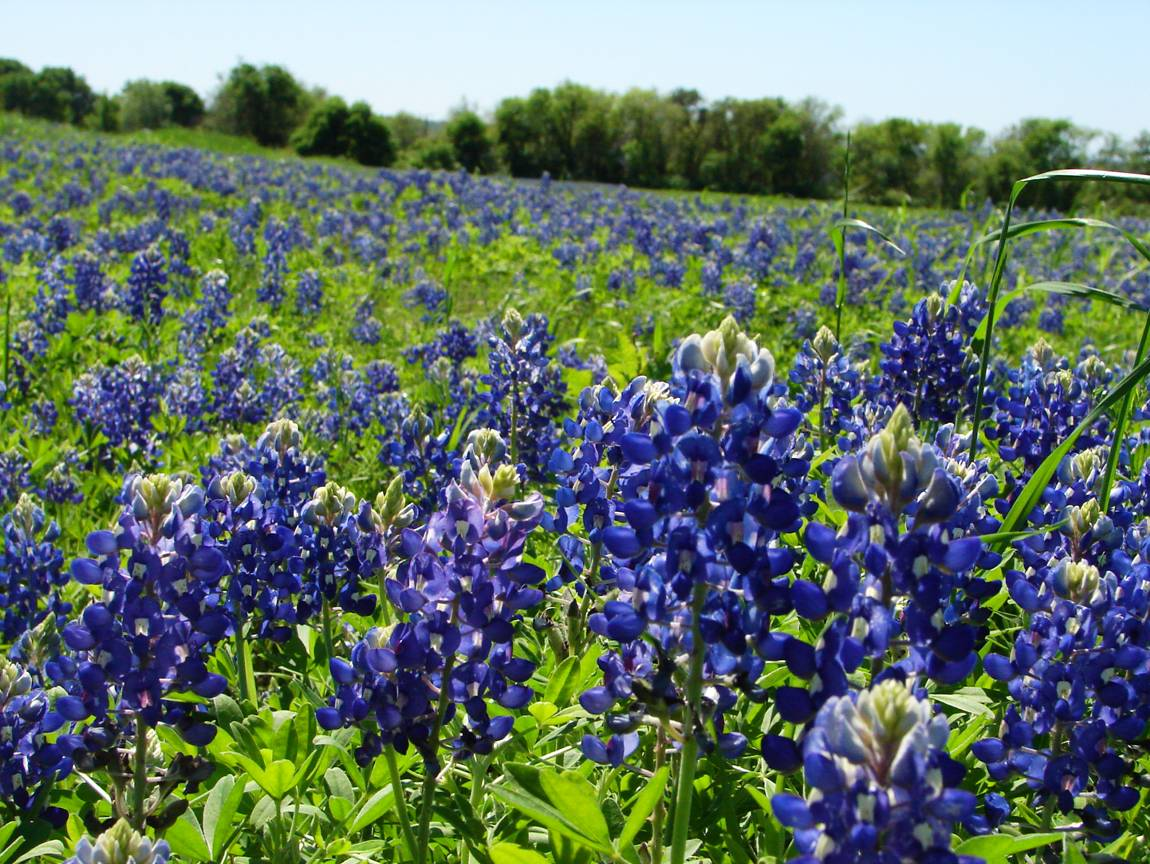 bluebonnet flowers  flower, Beautiful flower